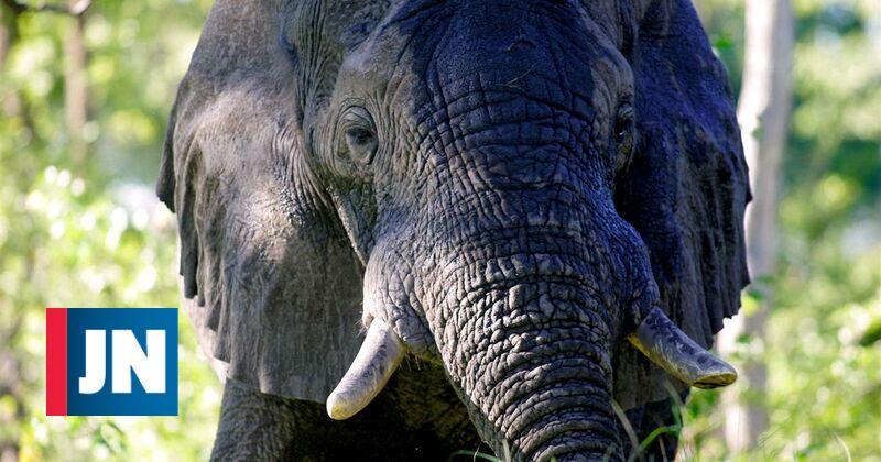 Trump vai permitir importação de troféus de caça de elefantes