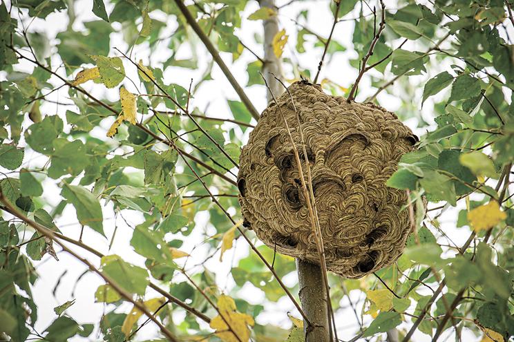 Ninho de vespa Asiática, instalado em árvore