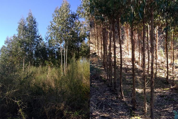 Na imagem podemos observar dois povoamentos de eucalipto com a mesma idade, o da esquerda sem gestão