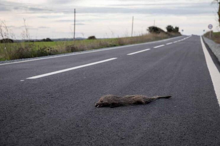 Acidentes provocados por animais estão a aumentar nas estradas portuguesas