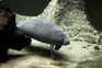 Peixe-boi é uma espécie ameaçada nos Estados Unidos