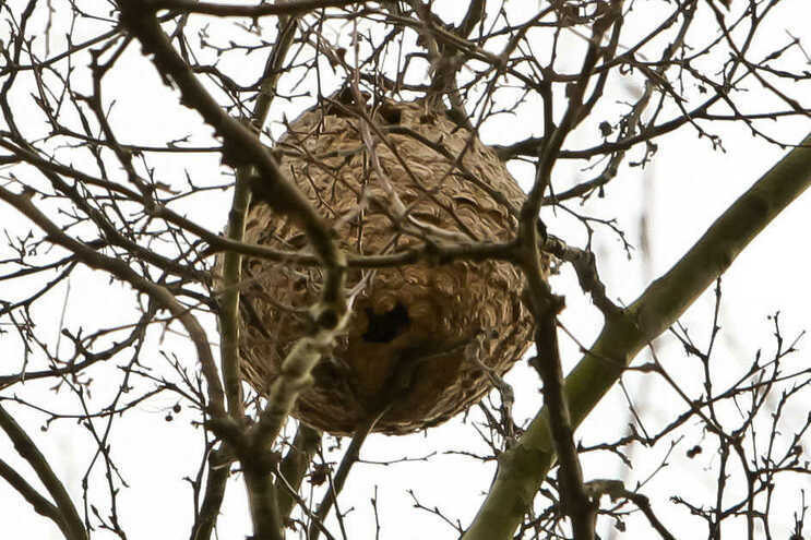 Condeixa-a-Nova já eliminou 140 ninhos de vespa asiática desde janeiro