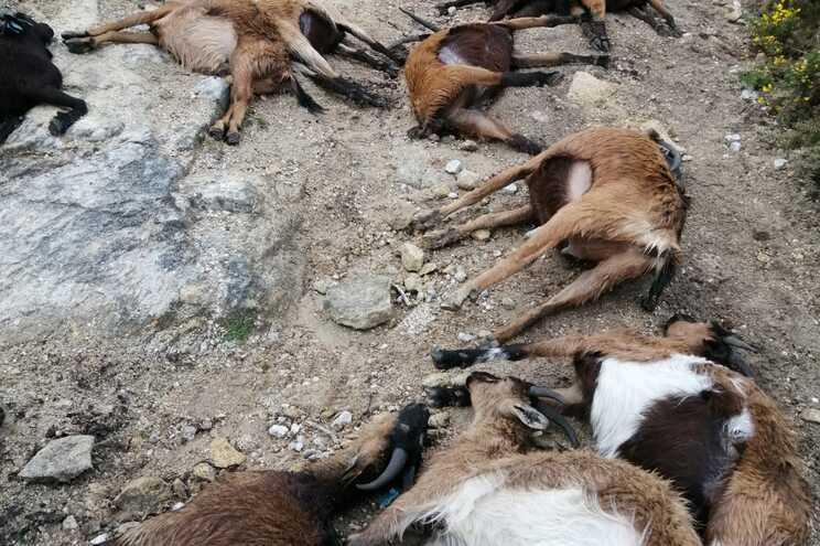 Rebanho de 320 cabras foi atingido por um raio e morreram de imediato dos 68 animais