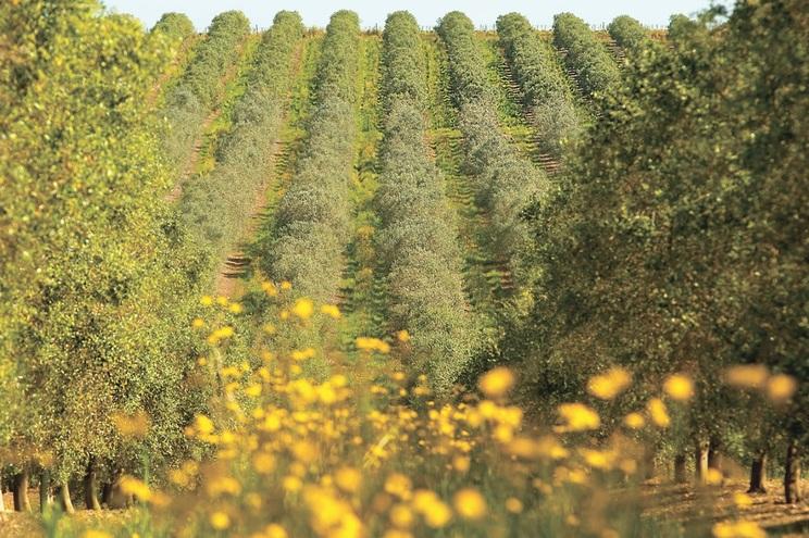 Alentejo é responsável por 85% da produção nacional de azeite