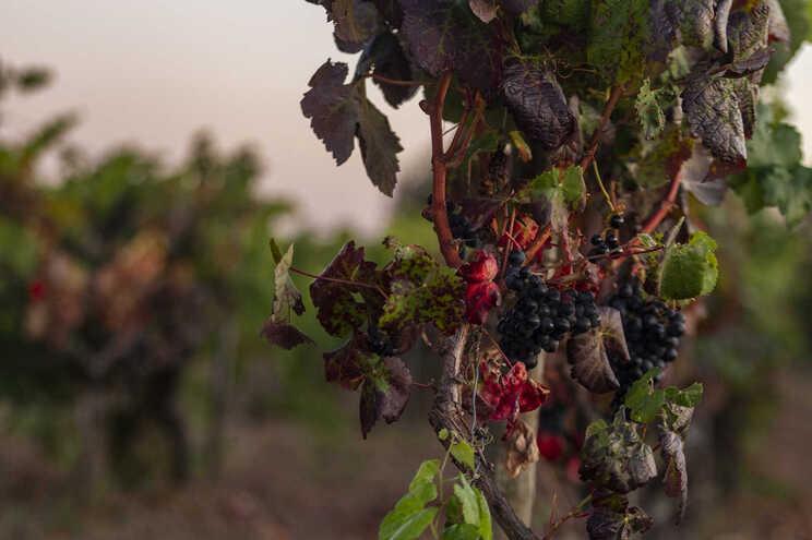 Investigadores do Porto vão desenvolver robôs para pulverizar vinhas de montanha