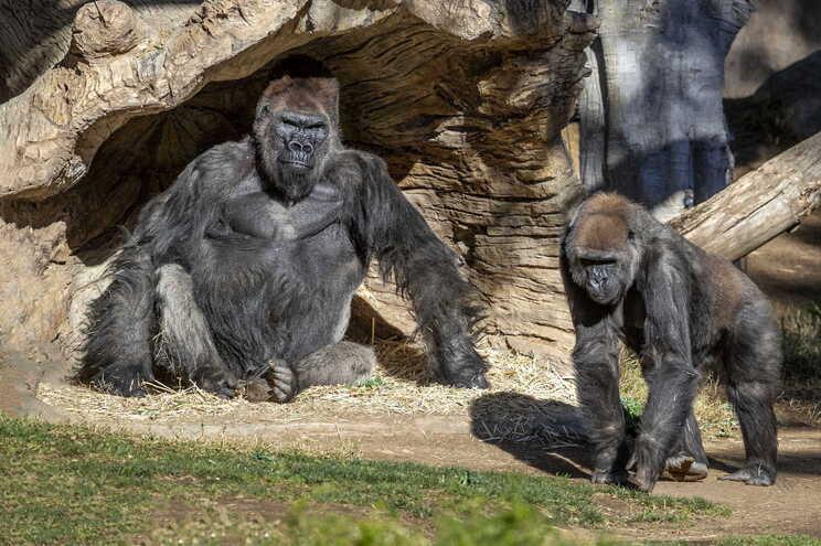 Macacos no zoo de San Diego recebem vacina contra a covid-19