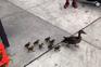 Família de patos passeia pelas ruas de Brooklyn