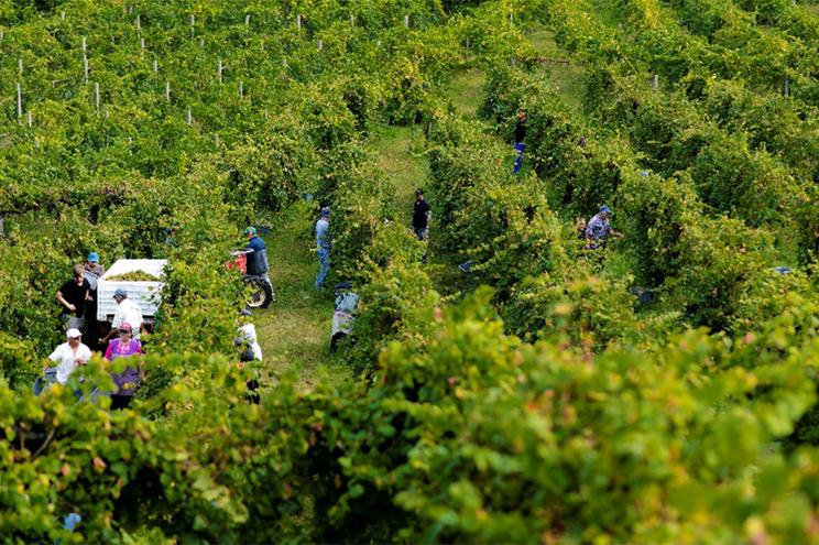 Produção de uva assume grande importância na economia da região