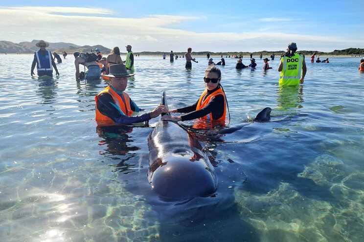 Nova Zelândia liberta baleias-piloto encalhadas pela segunda vez