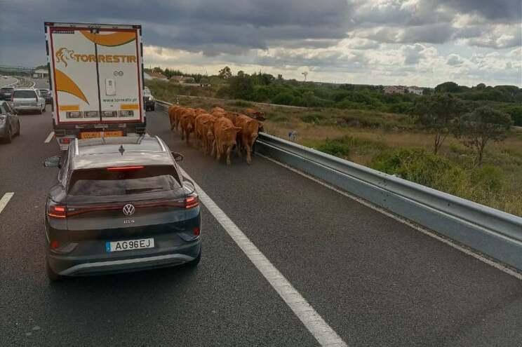 Vacas na autoestrada A1