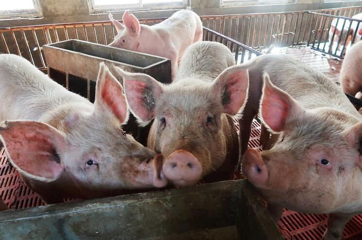 Cérebros de porcos mantidos vivos fora do corpo pela primeira vez