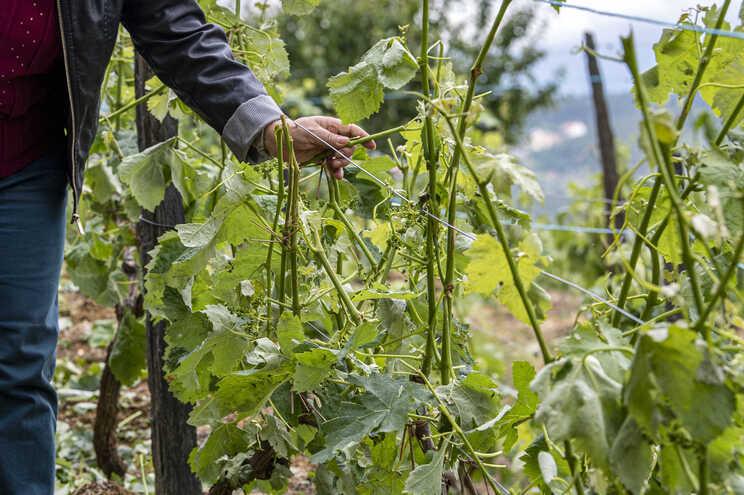 Granizo danificou vinhas no Douro
