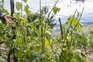 Chuva forte e granizo estragaram vinhas e outras culturas agrícolas