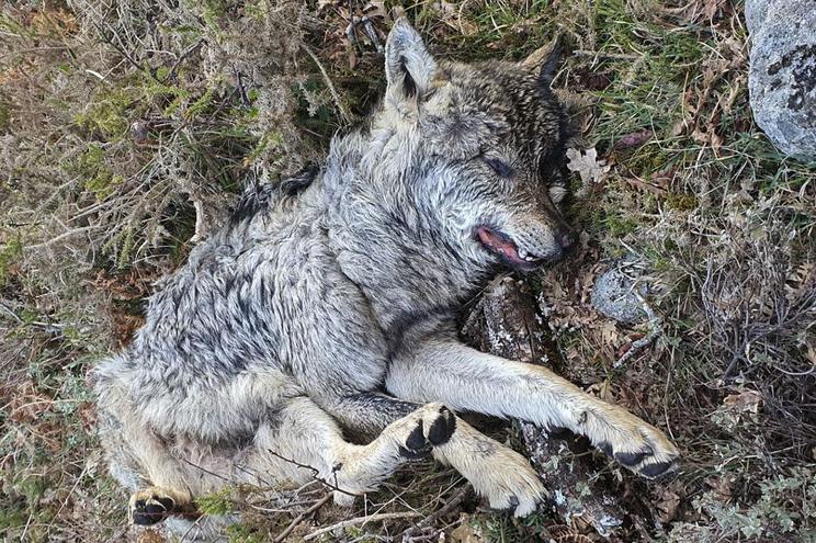 Um lobo encontrado morto na Serra do Gerês