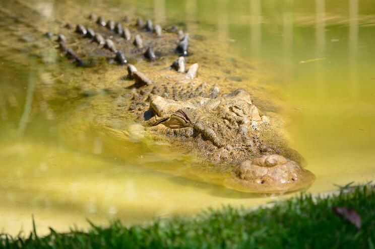 Jovem morre atacada por crocodilo em Moçambique