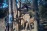 Reveladas imagens de tortura a elefantes treinados para turismo na Tailândia