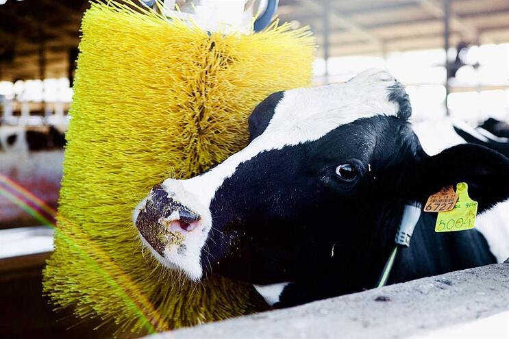 Vacas sofrem alterações de personalidade durante a puberdade
