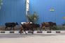 Macacos, cães, vacas. Exército de animais ocupa ruas desertas da Índia