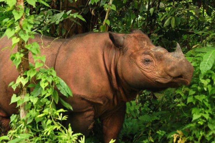 Morreu o último Rinoceronte de Sumatra a viver na Malásia
