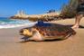 Tartaruga lesionada regressa ao mar com GPS