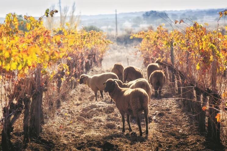 Uso de ovelhas nas vinhas do Alentejo já é habitual para controlar o crescimento da erva. Gansos e galinhas