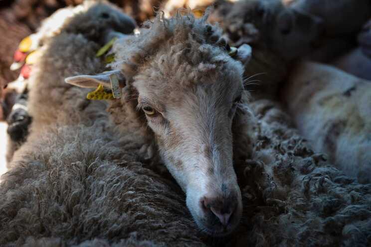 Um lote de ovinos registados como machos continha algumas fêmeas