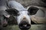 Serão exportados 10 mil porcos por semana