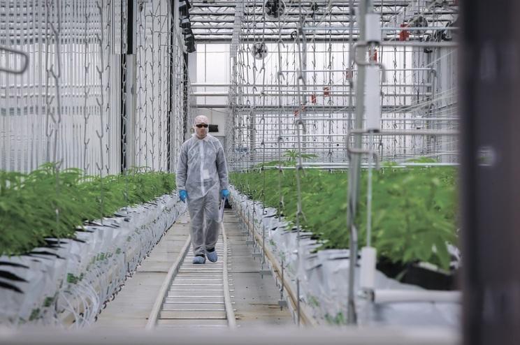 Multinacional, com instalações em Cantanhede, é a primeira empresa autorizada a vender canábis medicinal