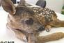 Cria de corço foi resgatada com vida em Viana do Castelo