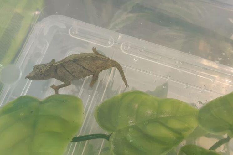 Camaleões encontrados em mala de viagem