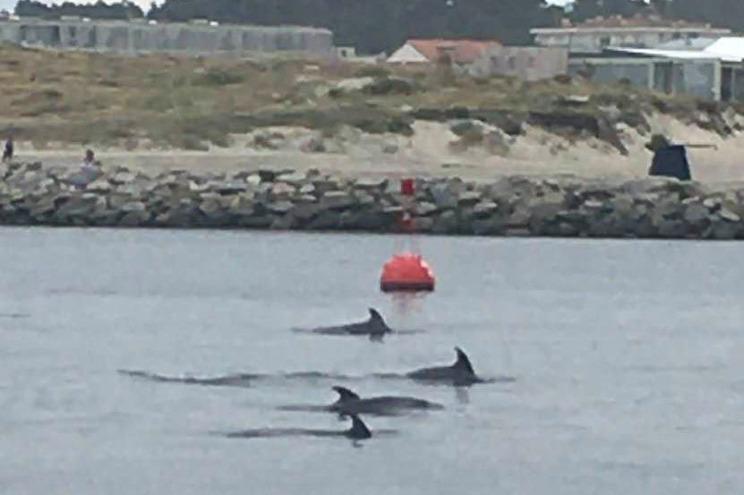 Golfinhos junto à foz do Ave