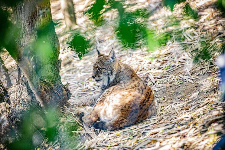 Lince é uma das espécies ameaçadas em Portugal