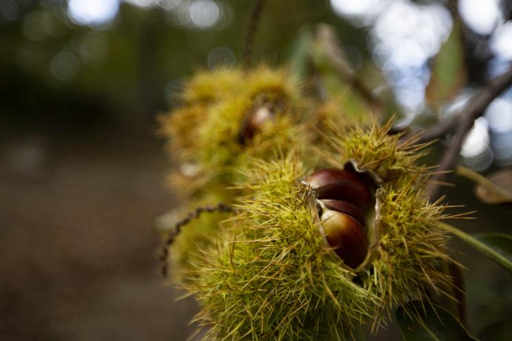 Vinhais é um dos maiores produtores de castanha do país