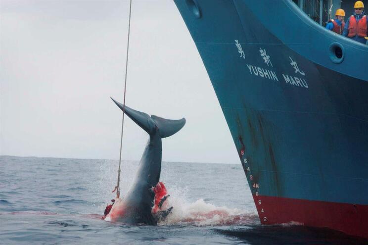 Japão sai da Comissão Baleeira Mundial e retoma pesca comercial de baleias