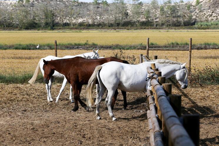 Doença transmite-se por contacto direto ou indireto entre os animais