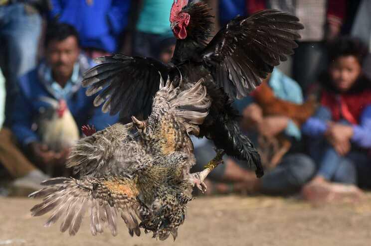 As lutas de galos são proibidas na Índia
