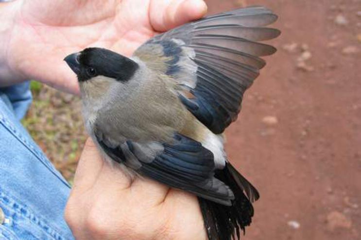Priolo é uma ave que apenas existe numa zona da ilha de São Miguel, nos Açores