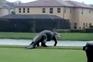 Crocodilo gigante invade campo de golfe na Florida
