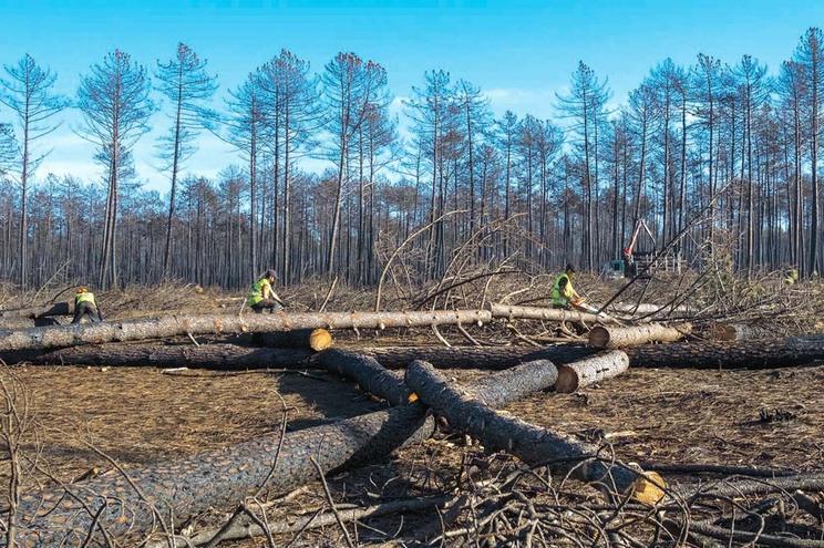 Reflorestação do pinhal  caminha a passo lento