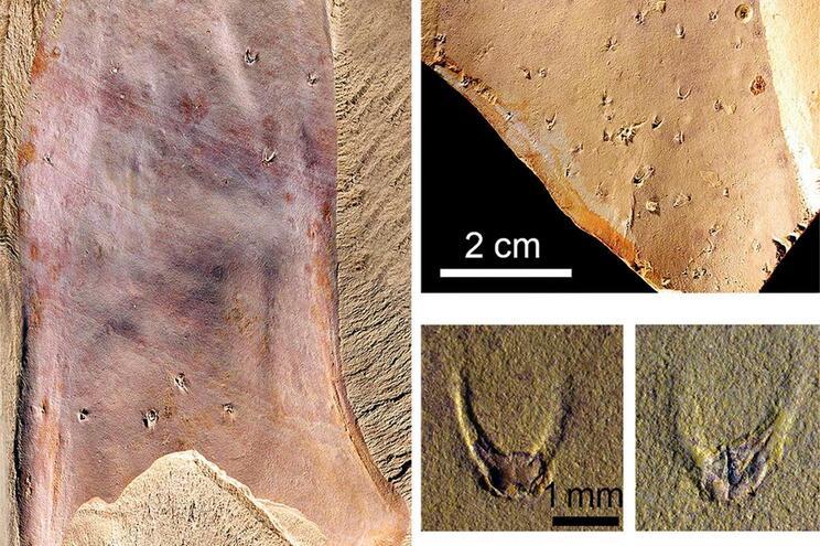 Fóssil com 500 milhões de anos pode resolver mistério dos primeiros animais