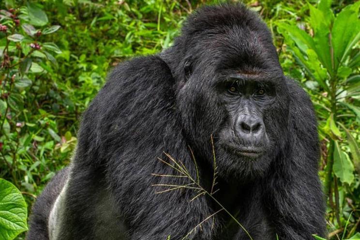 Onze anos de prisão por matar Rafiki, um raro gorila do Uganda