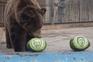 Urso e tigre siberianos preveem vitória de Joe Biden nos EUA