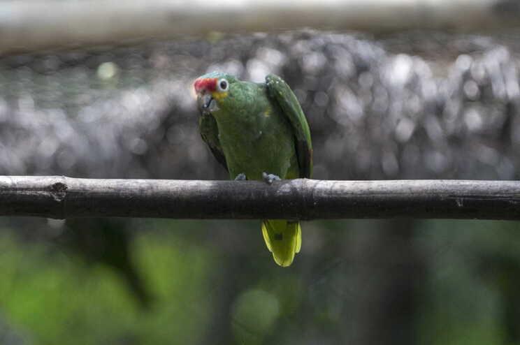 Homem foi salvo pelos gritos de um papagaio