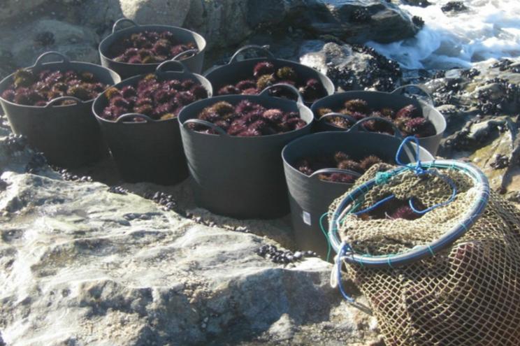 Apreendidos 245 quilos de ouriços-do-mar na costa em Viana do Castelo