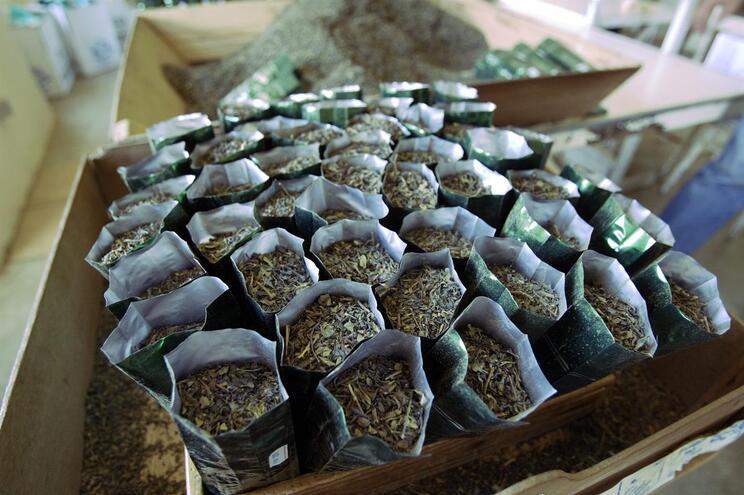 Descoberta substância que combate Alzheimer no chá dos Açores