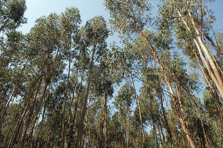 Eucaliptos aumentam para 32 mil hectares