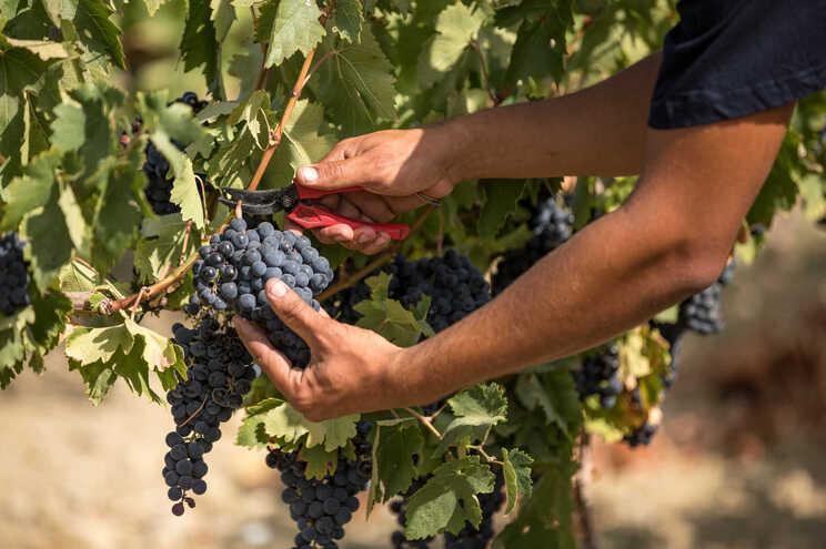 A vinha mais alta de Portugal fica em Montalegre, a 1070 metros de altitude