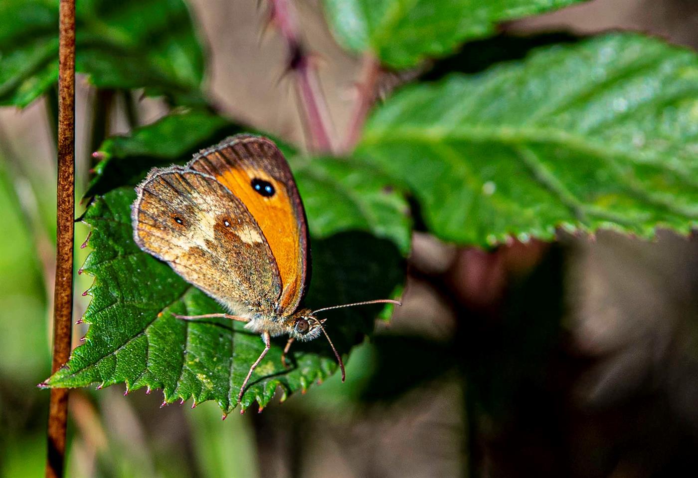 Censos já levaram à identificação de 600 borboletas de 32 espécies