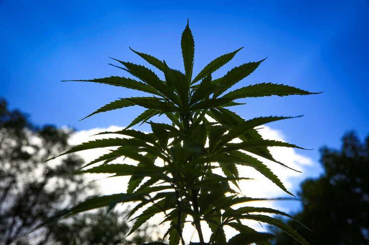 Regulamentado cultivo, fabrico e comércio de medicamentos e substâncias com canábis