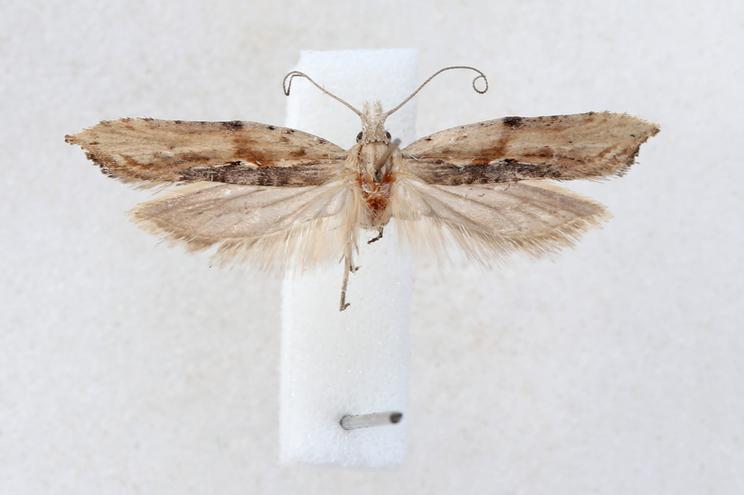 Nova espécie nomeada de 'Ypsolopha milfontensis'